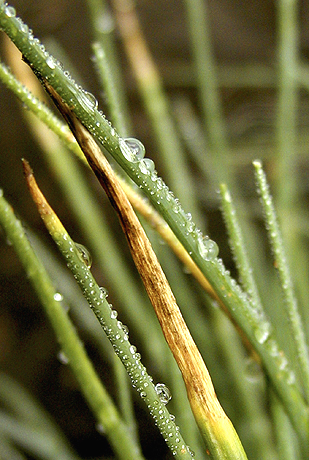 First Report of Downy Mildew of Chives Caused by <i>Peronospora destructor</i> in the Pacific Northwest