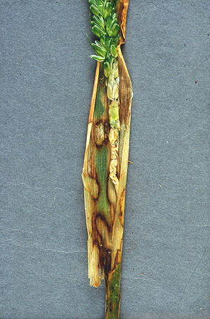 Peduncle Rot of Dwarf Wheat caused by <i>Rhizoctonia cerealis</i>