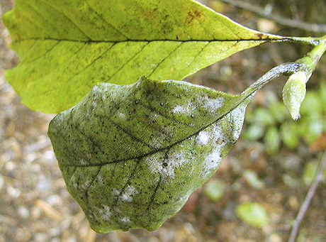 First Report of Powdery Mildew of <i>Magnolia</i> caused by <i>Microsphaera magnifica</i> (<i>Erysiphe magnifica</i>) in the Pacific Northwest