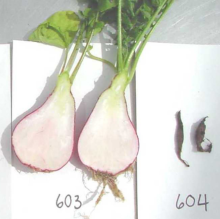 Wilt of Radish Caused by <i>Fusarium oxysporum</i> f. sp. <i>raphani</i> in Washington State