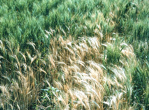 Resistance to Take-all is Not Expressed in Wheat-Alien Chromosome Addition and Substitution Lines