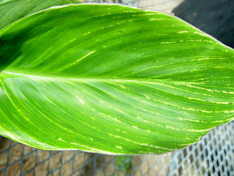<i>Canna yellow mottle virus</i> Detected in Canna in Florida