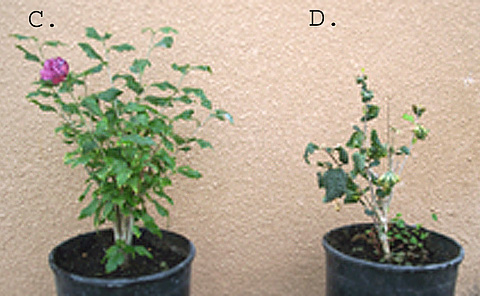 First Report of <i>Hibiscus latent Fort Pierce virus</i> in New Mexico