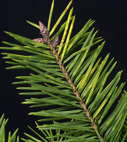 Rhabdocline Needlecast Increases Needle Loss of Douglas-fir Christmas Trees