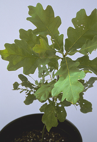 Abnormal Leaf Development on White Oaks Linked to Drift of Chloroacetamide Herbicides