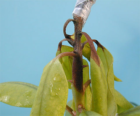 First Report of <i>Phytophthora cambivora</i> on Hybrid Rhododendron in North Carolina