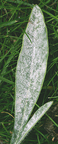 First Report of Powdery Mildew of <i>Coreopsis</i> Species Caused by <i>Golovinomyces cichoracearum</i> in the Pacific Northwest