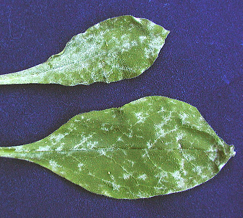 First Report of Powdery Mildew of <i>Omphalodes cappadocica</i> Caused by <i>Golovinomyces cynoglossi</i> (<i>Erysiphe cynoglossi</i>) in North America