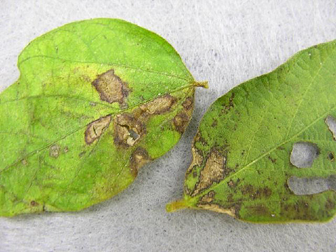 First Report of Rhizoctonia Foliar Blight of Soybean in South Carolina