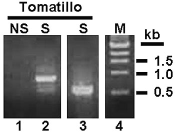 First Report of <i>Tomato spotted wilt virus</i> in Tomatillo in Florida