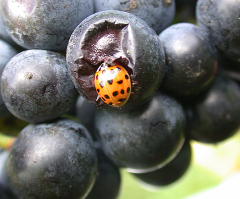 Influence of Berry Injury on Infestations of the Multicolored Asian Lady Beetle in Wine Grapes