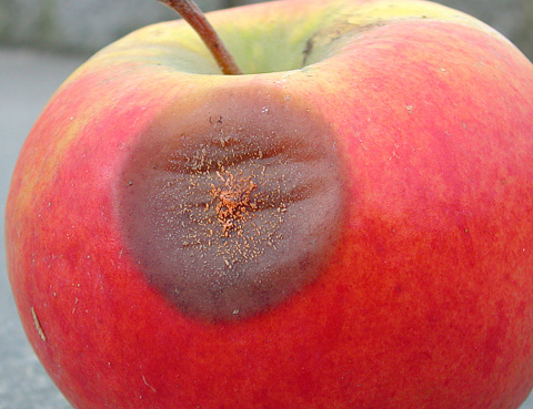 <i>Colletotrichum acutatum</i> Found on Apple Buds in Norway