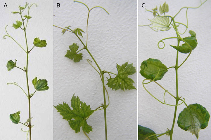 Characterization of a Severe Virus-like Disease in Chardonnay Grapevines in Missouri
