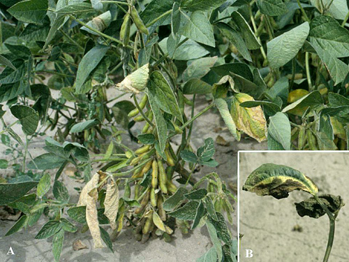 First Report of the Natural Occurrence of Soybean Bacterial Wilt Isolates Pathogenic to Dry Beans in Nebraska