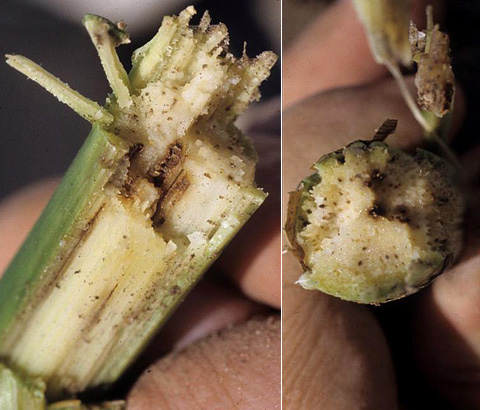 Reemergence of Goss's Wilt and Blight of Corn to the Central High Plains