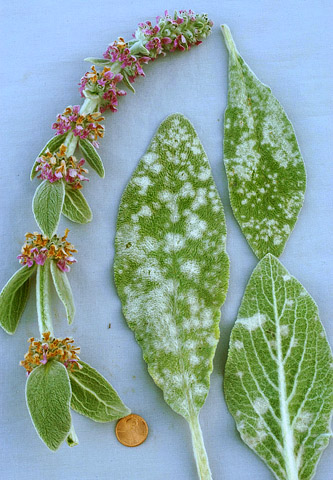 First Report of Powdery Mildew of <i>Stachys byzantina</i> (Lamb's Ear) Caused by <i>Neoerysiphe galeopsidis</i> in North America