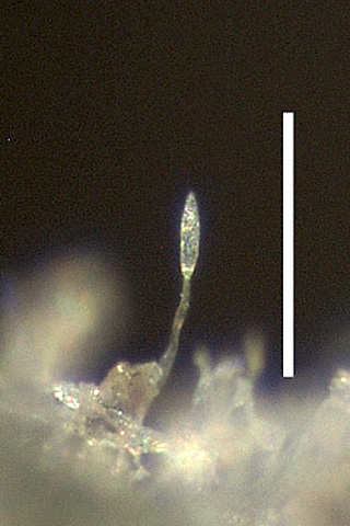 First North American Record of Powdery Mildew of <i>Cleome hassleriana</i> Caused by <i>Leveillula taurica</i>