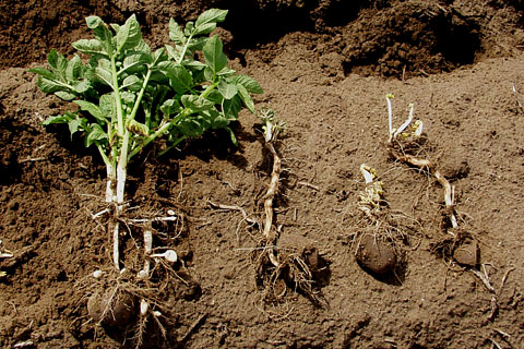 Delayed Emergence, Stem Distortion, Stunting, and Foliar Symptoms Associated with <i>Tobacco Rattle Virus</i> and <i>Paratrichodorus Allius</i> in Potatoes Grown in the Pacific Northwest