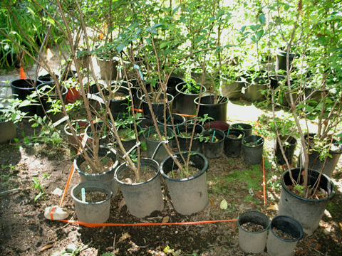 High Recovery Rate of <i>Phytophthora</i> from Containerized Nursery Stock Pots at a Retail Nursery Highlights Potential For Spreading Exotic Oomycetes