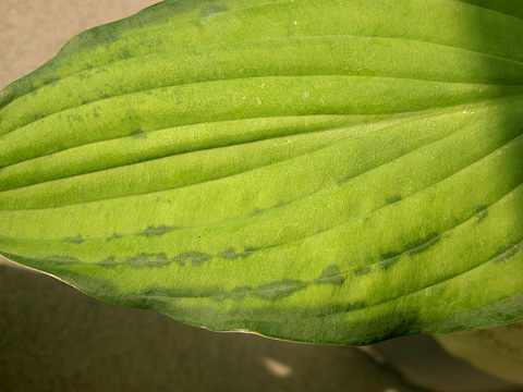 <i>Hosta virus X</i> Detected in Kansas