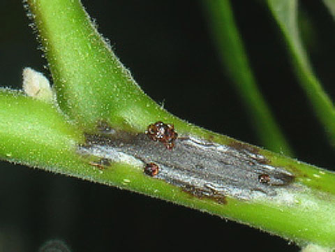 <i>Phytophthora citricola</i> Causes a Stem Canker in Black Walnut (<i>Juglans nigra</i>)