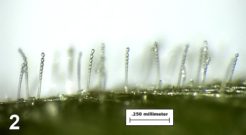 First Report of Powdery Mildew of Fringed Willowherb (<i>Epilobium ciliatum</i>) Caused by <i>Podosphaera epilobii</i> in North America