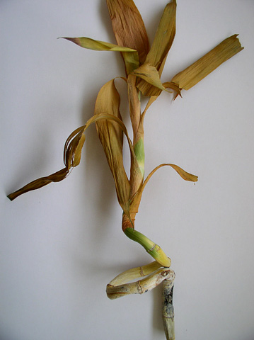 First Report of Stem Rot of <i>Dracaena</i> Caused by <i>Aspergillus niger</i> in Iran