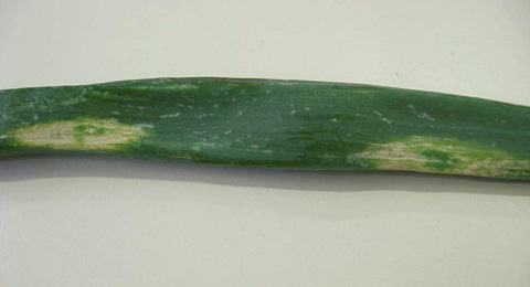 <i>Iris yellow spot virus</i> on Shallot and Onion in France