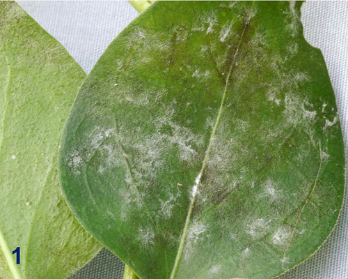 First Report of Powdery Mildew of Periwinkle Caused by <i>Golovinomyces orontii</i> in North America