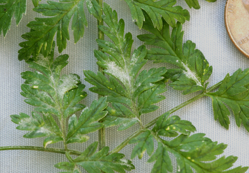 First Report of Powdery Mildew of Poison-Hemlock Caused by <i>Erysiphe heraclei</i> in North America