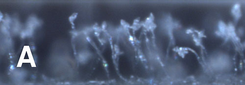 A User-Friendly Method to Isolate and Single Spore the Fungi <i>Magnaporthe oryzae</i> and <i>Magnaporthe grisea</i>  Obtained from Diseased Field Samples