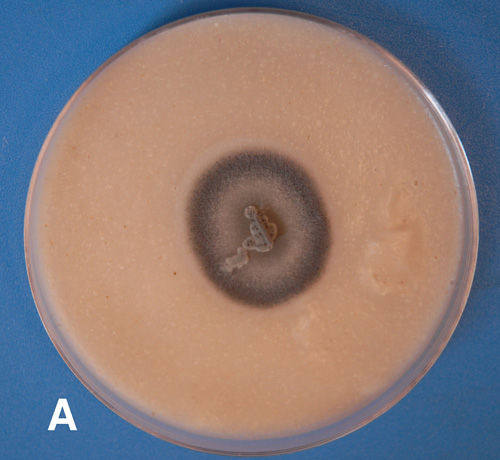 A User-Friendly Method to Isolate and Single Spore the Fungi <i>Magnaporthe oryzae</i> and <i>Magnaporthe grisea</i> 