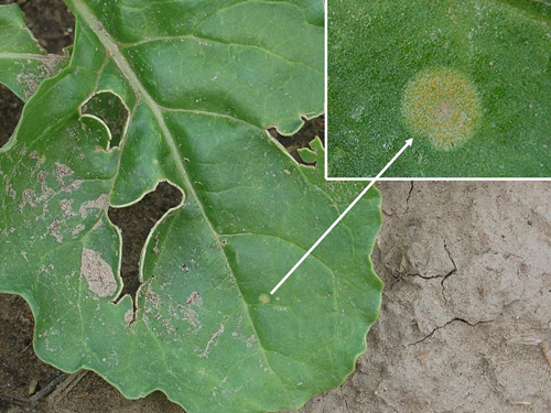 First Report of Sugar Beet Seedling Rust Caused by <i>Puccinia subnitens</i> in Nebraska