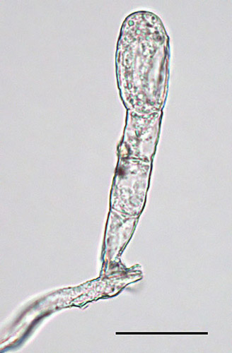 First Report of Powdery Mildew of <i>Tecoma capensis</i> Caused by <i>Erysiphe peruviana</i> in North America
