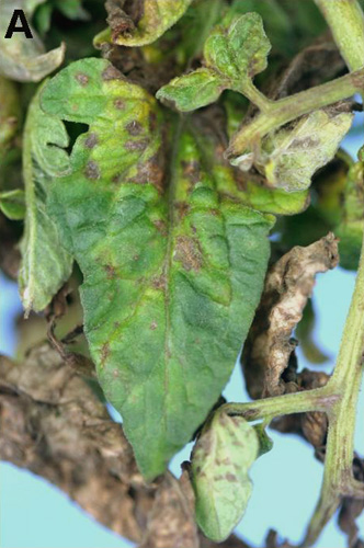 First Report of <i>Groundnut ringspot virus</i> Infecting Tomato in South Florida