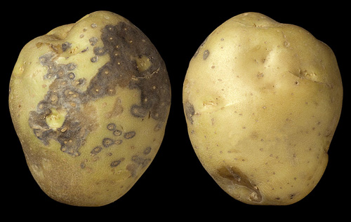 First Report in North America of Atypical Symptoms Caused by <i>Colletotrichum coccodes</i> on Field-Grown Potato Tubers During Storage