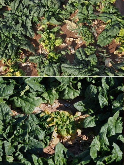 First Report of Two Curtoviruses in Spinach and Common Beet in Arizona