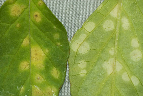 First Report of Leaf Smut of Tomatillo Caused by <i>Entyloma australe</i>
