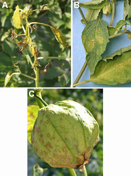 Expansion of <i>Groundnut ringspot virus</i> Host and Geographic Ranges in Solanaceous Vegetables in Peninsular Florida