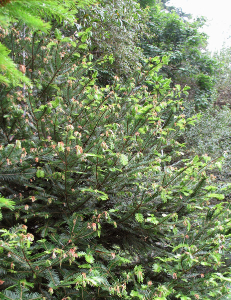 First Report of <i>Phytophthora ramorum</i> Infecting Grand fir in California