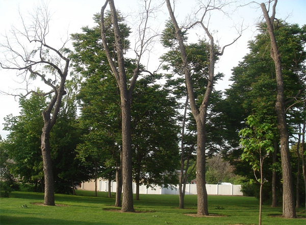 Thousand Cankers Disease is Widespread in Black Walnut in the Western United States