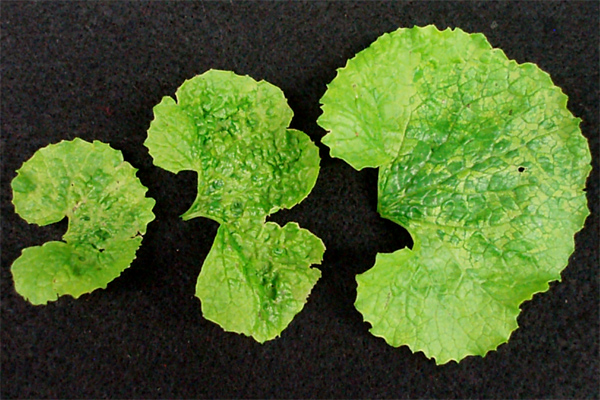 First Report of <i>Turnip mosaic virus</i> Occurrence in Garlic Mustard in Minnesota