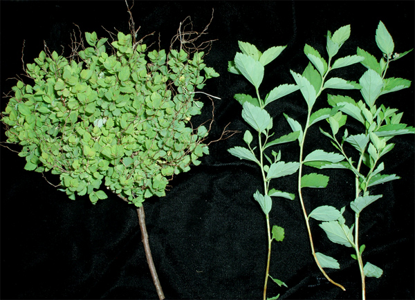 Association of Spirea Stunt Phytoplasma with a Disease of <i>Spiraea</i> spp. in Minnesota