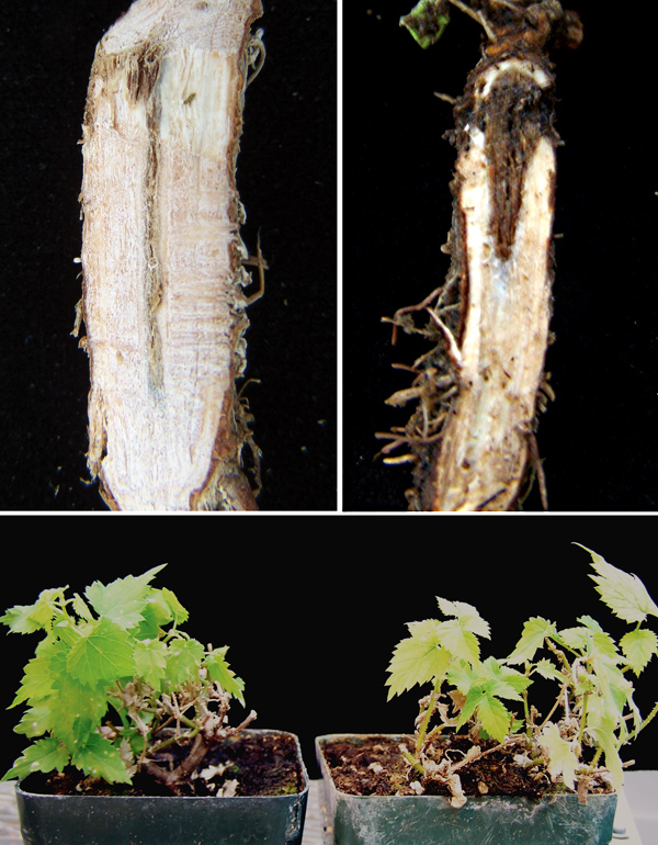 Red Crown Rot of Hop in Oregon Caused by <i>Phomopsis tuberivora</i>