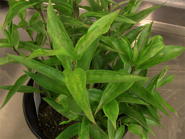 Identification of <i>Lily mottle virus</i> and <i>Lily symptomless virus</i> Co-infecting Asiatic Lily in Ohio