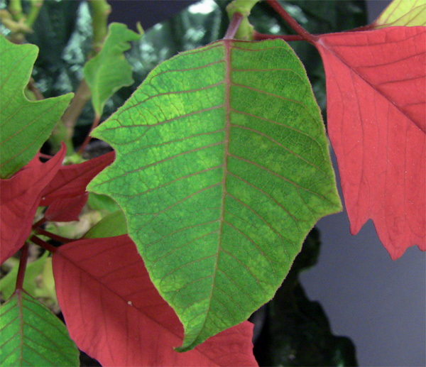 Identification of <i>Poinsettia mosaic virus</i> Associated with a Virus-like Mottle Symptom on Poinsettia in Ohio
