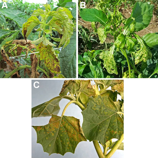 First Report of <i>Tomato chlorotic spot virus</i> (TCSV) in Tomato, Pepper and Jimsonweed in Puerto Rico