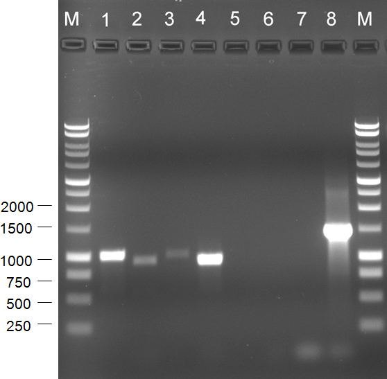 Identification of <i>Tobacco streak virus</i> Associated With a Virus-like Mottle Symptom on <i>Hosta</i>