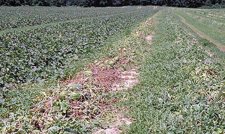 Mature Watermelon Vine Decline: A Disease of Unknown Etiology in Southwestern Indiana