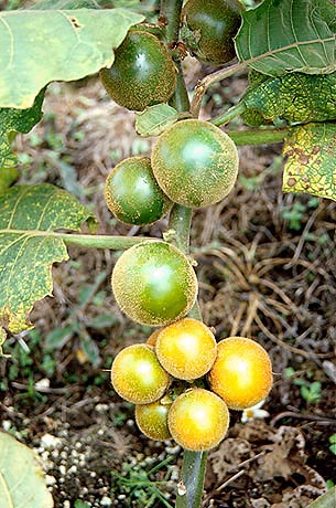 Seed Transmission of <i>Fusarium oxysporum</i> in Common Naranjilla (<i>Solanum